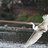 Egret in flight-Morro Bay estuary.