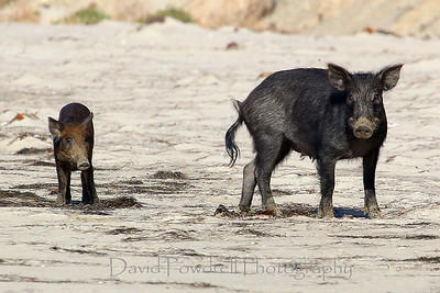 Wild boar - Mama and baby