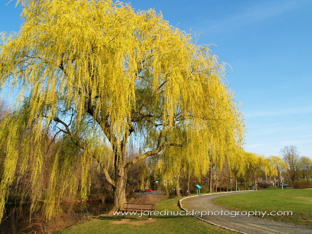 Weeping Willow at Union Pond, Manchester CT