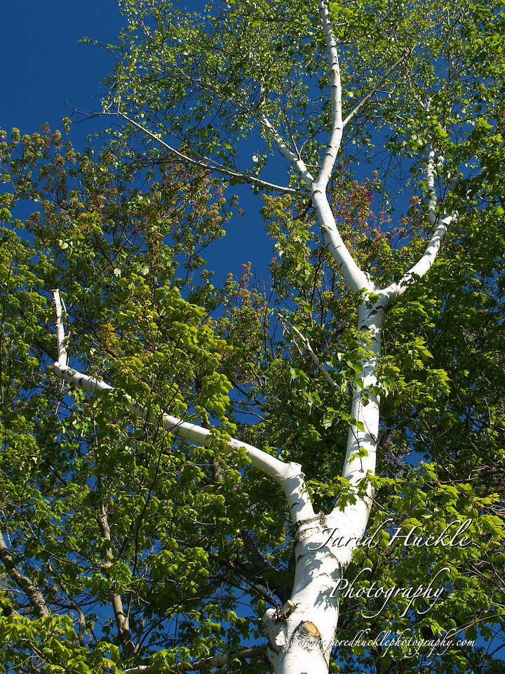 Birch Tree at Snipsic Lake, Connecticut