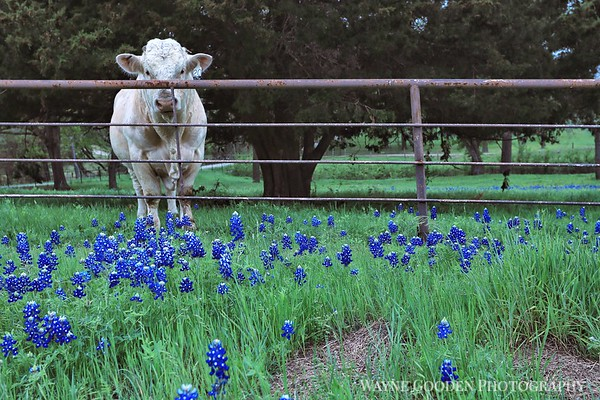 Mr Charlie and Bluebonnets