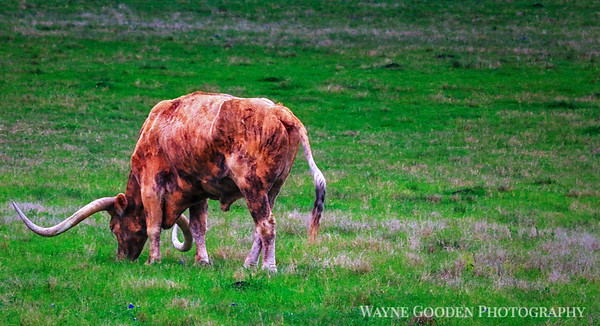 Texas Longhorn Grazing