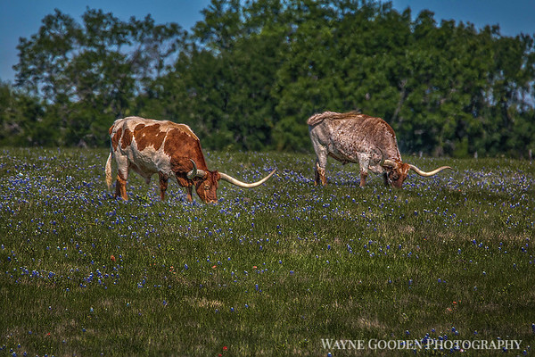 Longhorns and Bluebonnets in Ennis