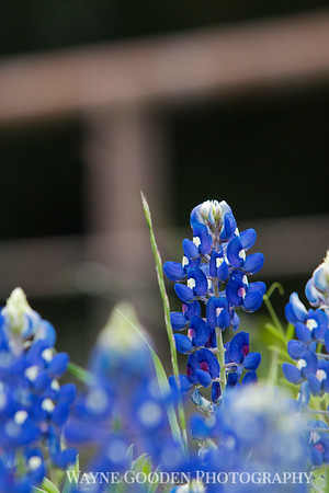 Ennis Bluebonnet Hill