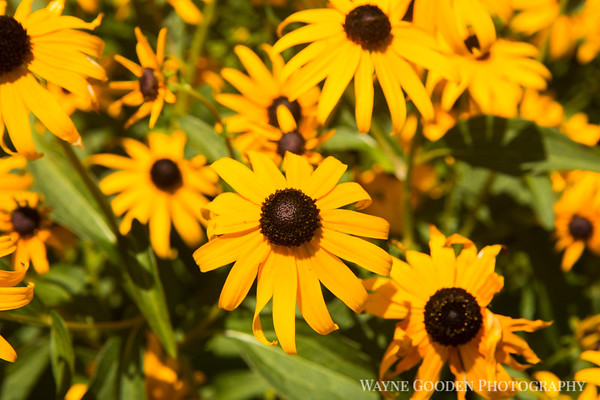 Sunshine Blackeyed Susans