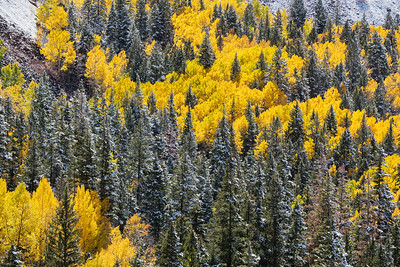 Snowy Aspens and Pines