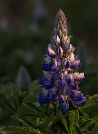 Lighted Lupine