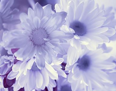 Daisy in Infrared