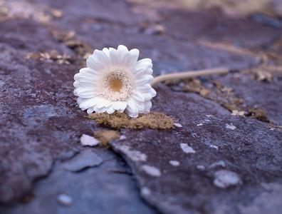 Daisy on Rocks