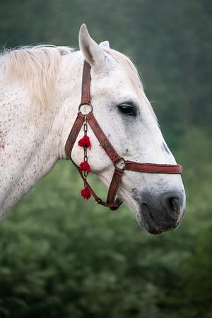 Romanian Horse