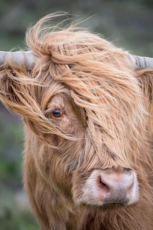 Highland Cow Closeup