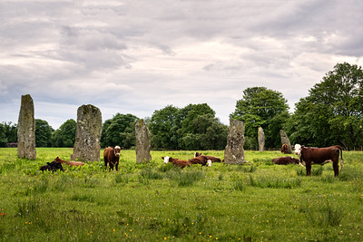 Druid Cows of Kilmartin