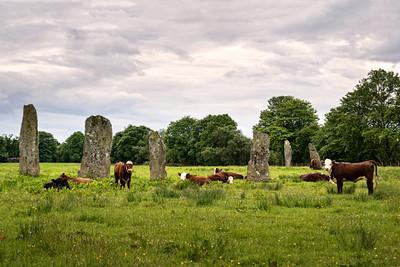 Druid Cows of Kilmartin
