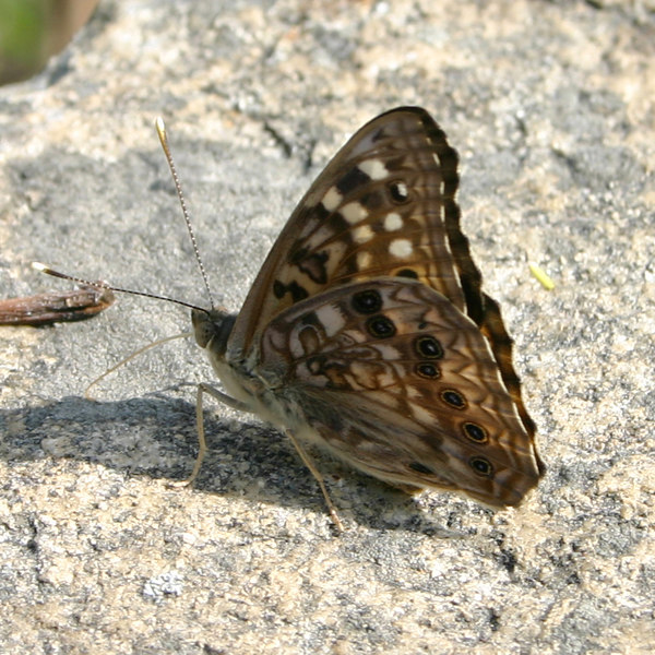 Hackberry Butterfly<br /> Asterocampa celtis