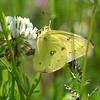 Common Sulphur<br /> Colias philodice