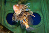 Lionfish<br /> Atlantis Marine World<br /> Riverhead, NY
