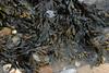 Rockweed<br /> Fucus vesiculosus