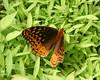 Great Spangled Fritillary<br /> Speyeria cybele