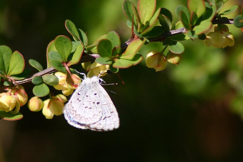 Spring Azure<br /> Celastrina landon<br /> Shirley, NY