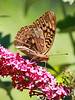 Great Spangled Fritillary<br /> Speyeria cybele (Fabricius, 1775)