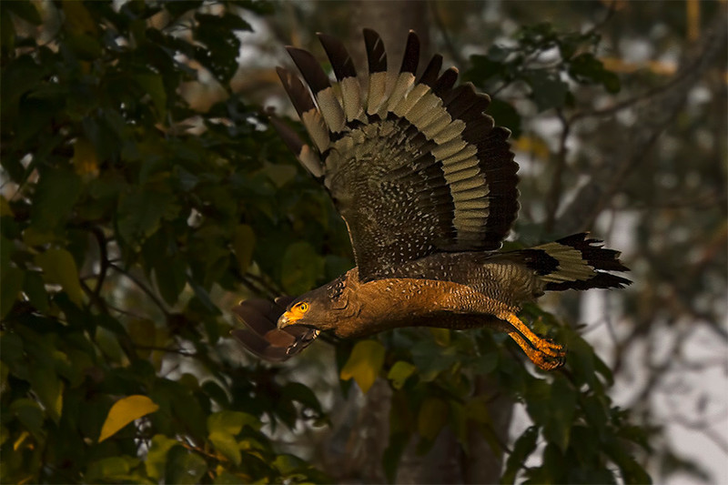 Serpent Eagle, Chitwan, December 2012