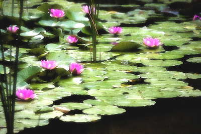 Water lilies on Margarit Island, Budapest - with a touch of reference to Monet.