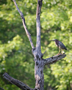 A green heron perches along the C&O Canal