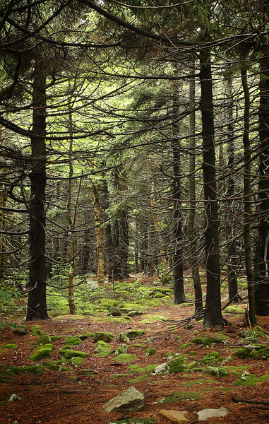 Lush forested area at the top of Spruce Knob, West Virginia