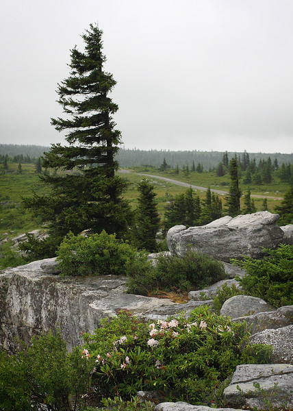 Wind-swept trees at Bear Rock, in Dolly Sods West Virginia