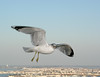 Eye-level photography of a seagull in flight....19 stories up.