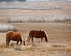 Wild horses on Assateague Island