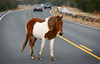 Wild horse on Assateague Island