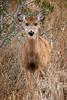 Deer on Assateague Island