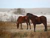 Wild horses on Assateaguue Island.