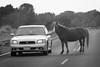 Traffic jam on Assateague Island