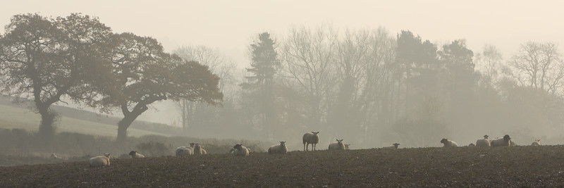 Sheep in November Mist