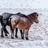 Ponies with their Backs to a Blizzard