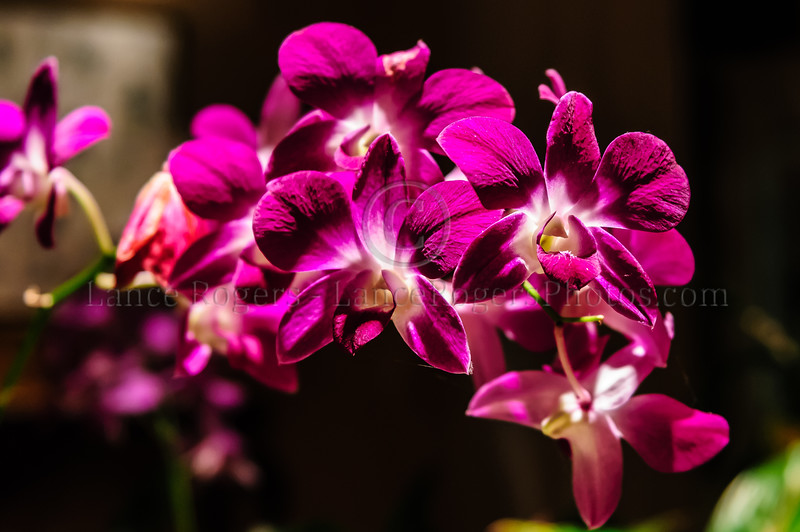 Orchids @ Grand Wailea