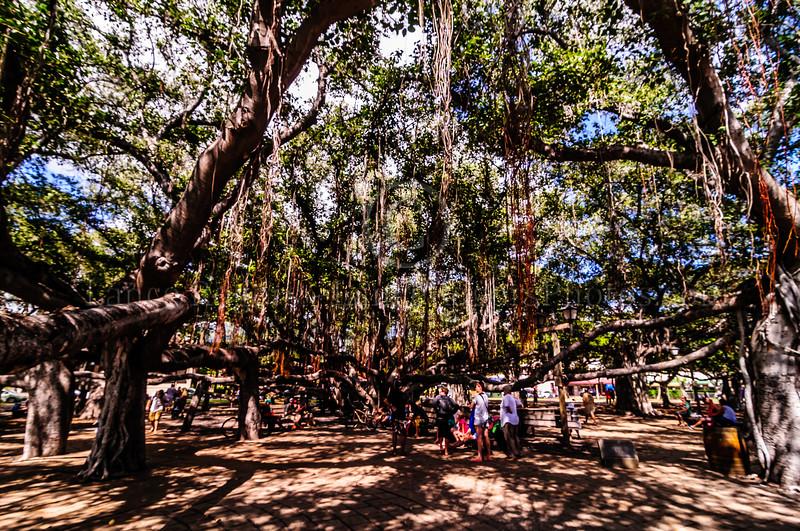 Banyan Tree Downtown Lahaina, Maui, HI