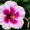 Hibiscus @ Longwood Gardens