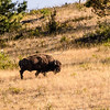 Bison roam free on the National Bison Reserve