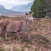 Red Deer, Glencoe