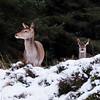 Red Deer on Rannoch Moor