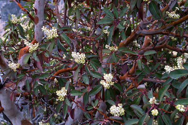 Texas madrone or The Naked Indian - arbutus xalapensis