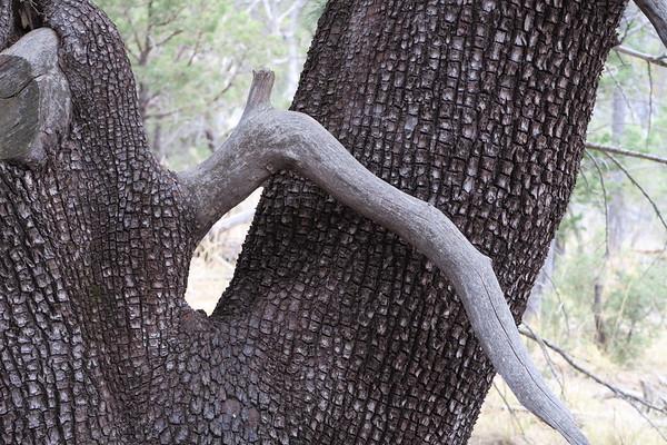 Aligator Juniper - juniperus deppeana - was plentiful in the upper reaches of McKittrick Canyon.