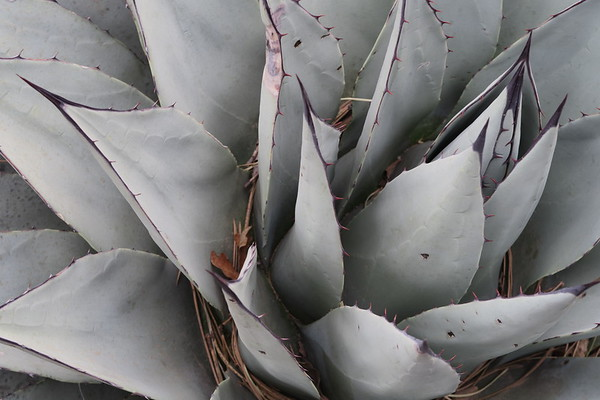 Century Plant - agave americana - is native to Mexico and parts of Texas, Arizona, and New Mexico.