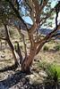 Texas madrone - arbutus xalapensi - aka Naked Indian Tree.