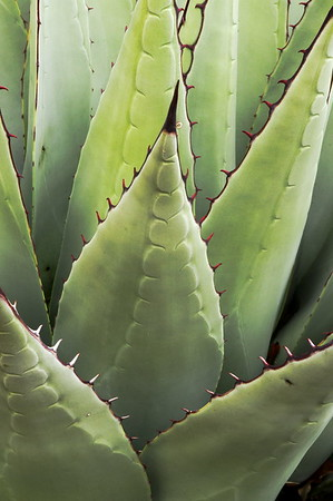 Century Plant - agave americana - Guadalupe Mountains National Park - Texas