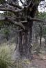 Juniperus deppeana - Aligator Juniper
