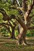 Shapely Oaks - Fort Worth Botanic Garden